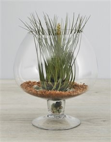 flowers: Melanocrater Air Plant in Green Pedestal Vase!