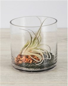 flowers: Himnorum Air Plant in Short Cylinder Vase!