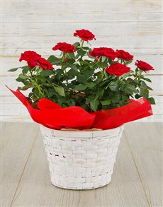 plants: Red Rose Bush in Planter!