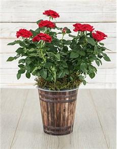 plants: Red Rose Bush in Pot!