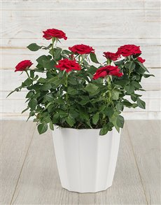plants: Red Rose Bush in White Pot!
