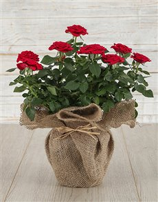 plants: Red Rose Bush in Hessian Wrapping!