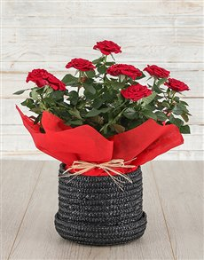 plants: Red Rose Bush in Hat Box!