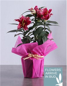 flowers: Stargazer Plant in Wrapping!