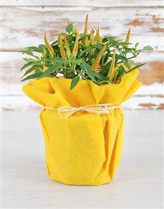 gifts: Chilli Plant in Yellow Wrapping!