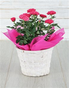 plants: Cerise Rose Bush in Planter!