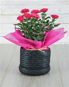 plants: Cerise Rose Bush in Hat Box!