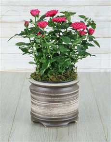plants: Cerise Rose Bush in Ceramic Pot!