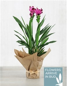 plants: Purple Curcuma Plant in Brown Paper!