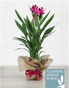 plants: Purple Curcuma Plant in Hessian Wrapping!
