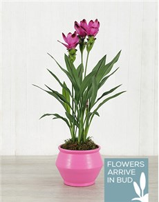 plants: Purple Curcuma Plant in Pink Pottery!