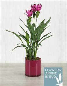 plants: Purple Curcuma Plant in Pink Cylinder Vase!