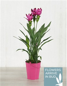 plants: Purple Curcuma Plant in Bucket Tin!
