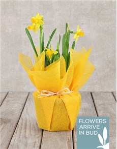 gifts: Daffodil Plant in Tissue Paper!