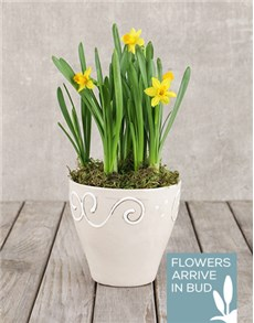 flowers: Daffodil Plant in Ceramic Pot!