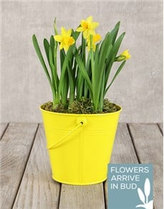 flowers: Daffodil Plant in Yellow Bucket!