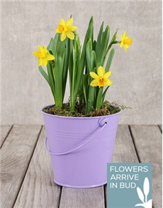 gifts: Daffodil Plant in Purple Bucket!