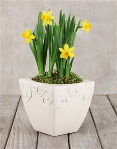 gifts: Daffodil Plant  in Square Pot!