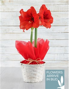 flowers: Red Amaryllis in White Basket!