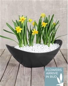 flowers: Daffodil Plant in Black Boat Vase!