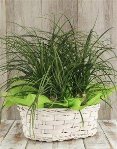plants: Triple Ponytail Palm Basket!