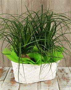 plants: Double Ponytail Palm Basket!