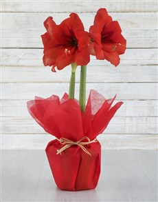 gifts: Red Amaryllis Plant!