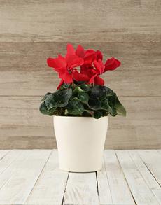flowers: Cyclamen in White Ceramic Pot!