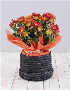 plants: Chrysanthemum Plant in Hat Box!