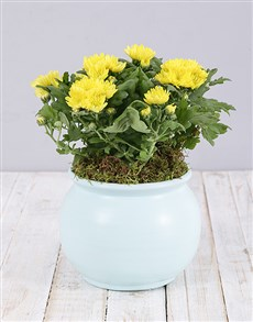 plants: Yellow Chrysanthemum Plant in Blue Pot!