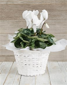 plants: White Cyclamen in a Chrysanth Basket!