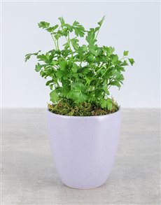 gifts: Parsley Herbs in Glazed Pot!