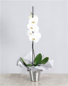 flowers: White Phalaenopsis Orchid in Ice Bucket!