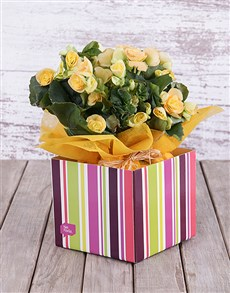 plants: Yellow Begonia Box!