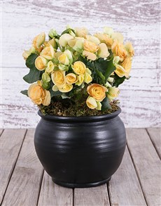 flowers: Begonia in Black Pottery!