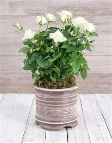 plants: White Rose Bush in Ceramic Pot!