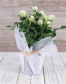 plants: White Rose Bush in Wrapping!