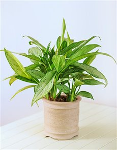 plants: Single Green Plant in a Ceramic Pot!