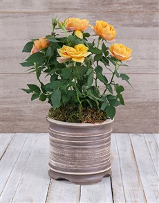 plants: Yellow Rose Bush in Ceramic Pot!