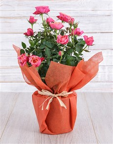 plants: Orange Rose Bush in Wrapping!