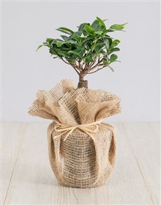 plants: Ficus Bonsai Tree in Hessian!