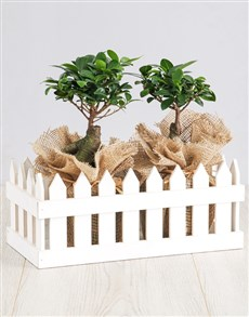 flowers: Ficus Bonsai Trees in Picket Fence!