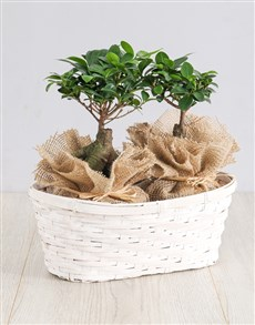 flowers: Ficus Bonsai Trees in Double Basket!