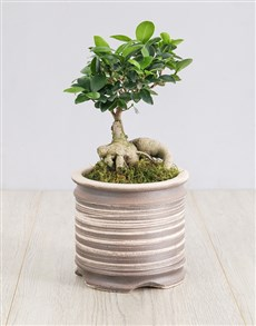 plants: Ficus Bonsai Tree in Ceramic Pot!