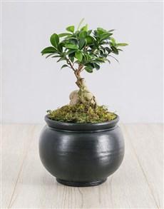 flowers: Ficus Bonsai Tree in Black Pottery!