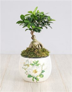 plants: Ficus Bonsai Tree in White Flower Pot!