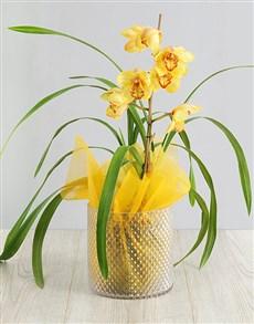 plants: Luminous Phalaenopsis Orchid!