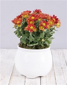 flowers: Orange Chrysanthemum Plant in White Pot!