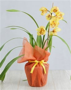 plants: Yellow Cymbidium Orchid in Wrapping!