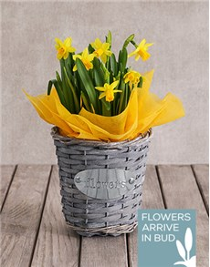 flowers: Single Daffodil Plant Basket!